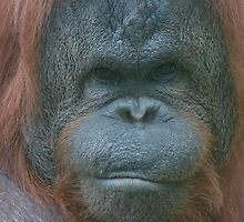 Orangutang - Eye to Eye by cml16744