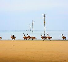 Canadian Geese Rock Harbor Cape Cod by capecodart