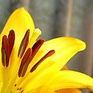 lily fanfare  by Liz  Wohlrab