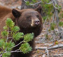 Black Bear with Cinnamon Color by William C. Gladish
