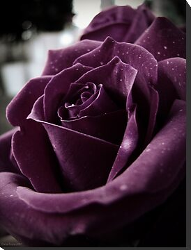 Purple Rose II by CarlaSophia