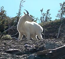 Mountain Goat by BarbsUSA