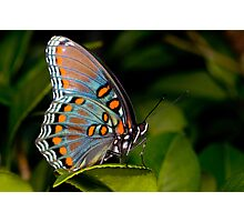 Red Spotted Purple Butterfly Photographic Print