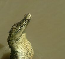 salt water crocodile jumping out of the water by ozflash