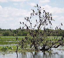 Mangrove Tree Birds by Jonathan Dower
