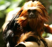 Golden-Headed Lion Tamarin by amjaywed