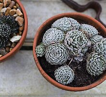 Frost on the succulents by Justine Gordon
