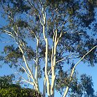 Ghost gum at dawn by Tricia Holmes