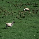 Sheep grazing at Banks East Turret Hadrian's Wall England 198405260044 by Fred Mitchell