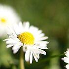 daisy by Brenda Anderson