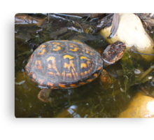 Eastern box turtle from a childs view color photo  Canvas Print
