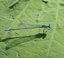 Blue Riverdamsel by Stuart Cooney