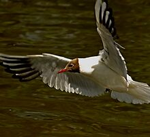 Blackheaded gull by Daveart