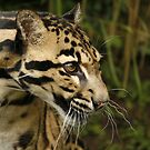 Clouded leopard by Ann Heffron