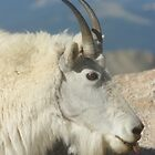 Mt Evans Mountain Goats by Daniel Doyle