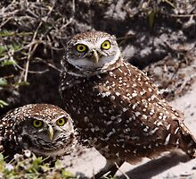 OWL PAIR by Gail Falcon