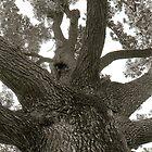 oak by XIII