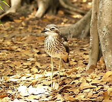 Bush Stone-Curlew - Brisbane City Botanic Gardens by flash62au