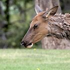 ELK........... (rushed entry ........ stage right) by Robert Elliott
