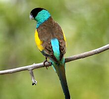 Hooded Parrot by Stuart Cooney