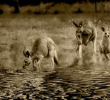 three kangaroos in sepia by rozdesign
