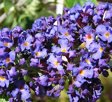 Buddleja by pat oubridge