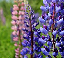 Wild Lupins III by Kathleen Daley