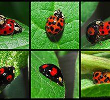 Harlequin Ladybird Variants by John Hooton