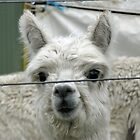 suri alpaca by Carol  Lewsley