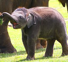 Baby elephant 1 of 4  by jdmphotography