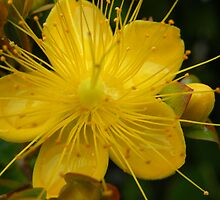 St Johns Wort-Hypericum by pat oubridge
