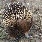 Short-beaked Echidna - Tachyglossus aculeatus by ozscottgeorge