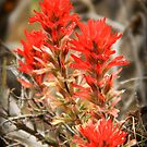 Desert Paintbrush Wildflower - Castilleja Chromosa by Ryan Houston
