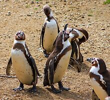 Humboldt penguins .............   by jdmphotography