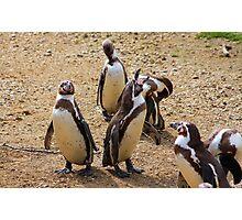 Humboldt penguins .............   Photographic Print