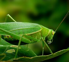 Katydid with bead of plant juice by JulieM