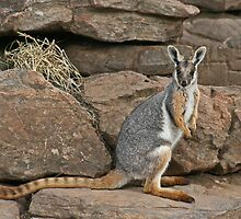 The endangered Yellow-footed Rock Wallaby by Nick Hunt