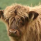 highland calf... by Ken McKillop