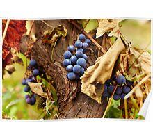 Blue grapes on a vine, closeup Poster