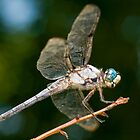 Great Blue Skimmer by Bonnie T.  Barry