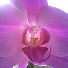 Pearly Orchid by KazM