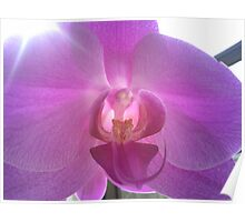 Pearly Orchid Poster