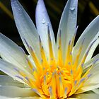 Water Lily flower, Adelaide Botanic Gardens SA by BenClarkImagery