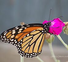 Monarch Butterfly by ChereeCheree