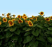 Sunflowers  { Obviously!! } by Irene  Burdell