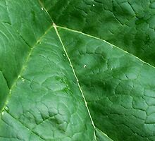 Rhubarb Leaf Macro by Stephen Thomas