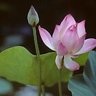 LOTUS   FLOWER by yoshiaki nagashima