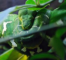 emerald boa by Tamara Bush