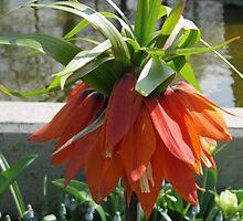 Orange Crown Imperial - Very Dutch! by MidnightMelody