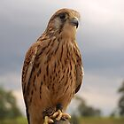 young Kestral by WhartonWizard